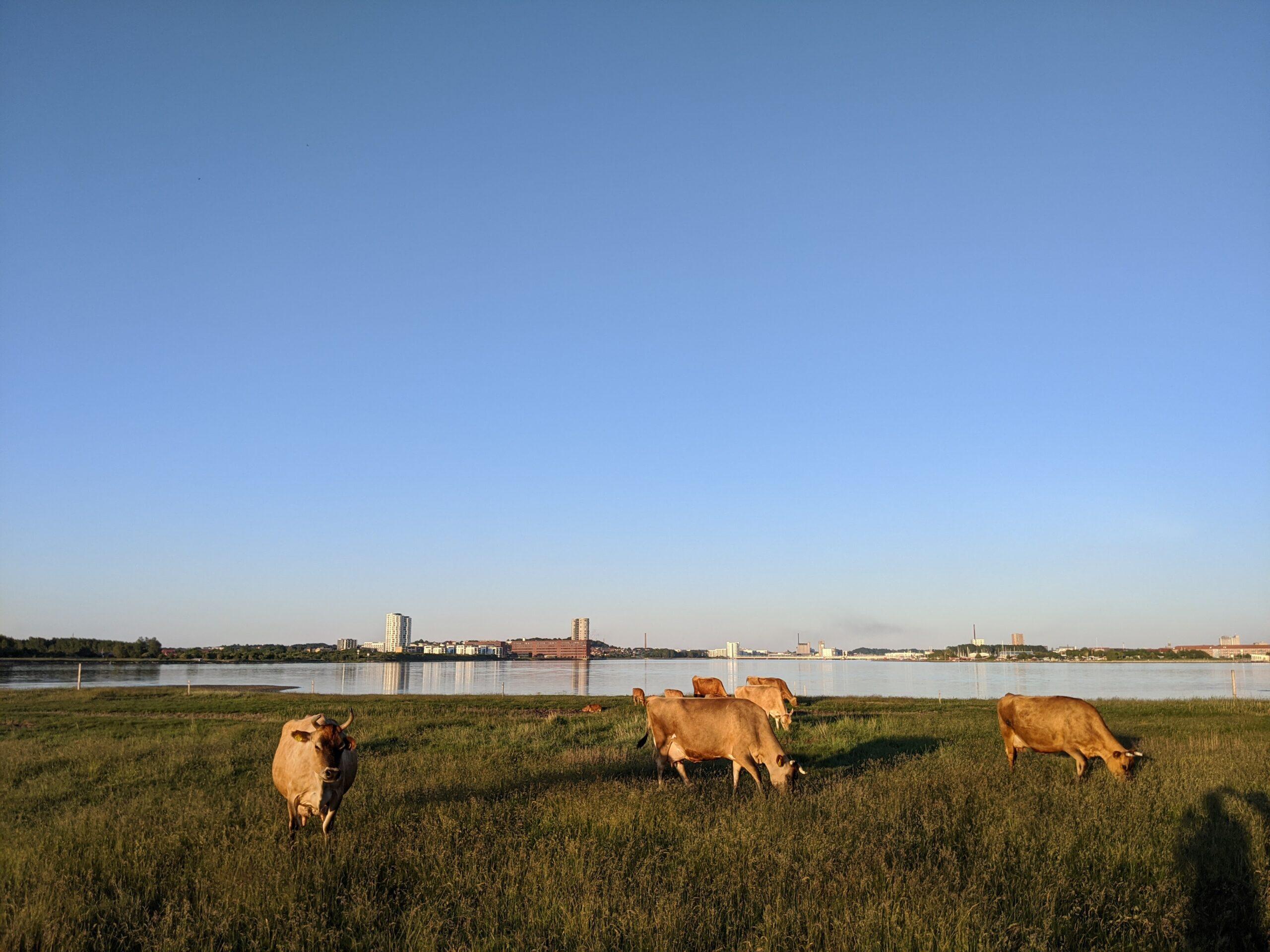 Græssende køer med Nørresundby og Aalborg i baggrunden. Foto: Jens Viking Myhren Thomsen
